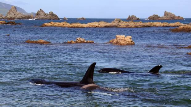 An orca and her calf in Island Bay on Thursday.