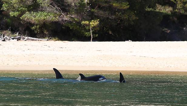 Orca close to shore near Anchorage in the Abel Tasman National Park on Friday morning.