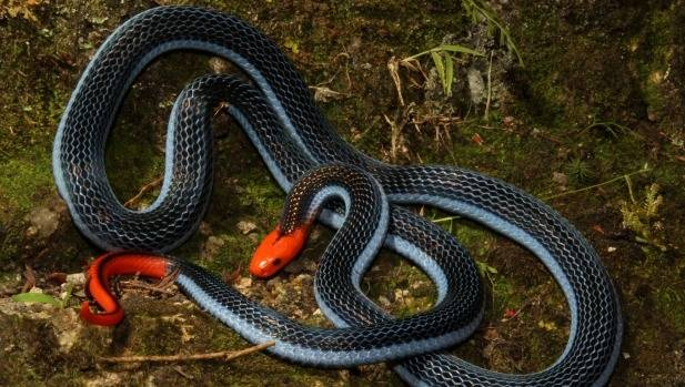 Venom of the long-glanded blue coral snake unlike any other snake's