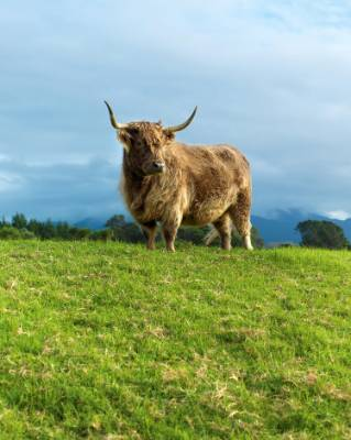 Bluebell, one of the two miniature Highland cows. Hebes line the path from the driveway towards the vegetable garden.