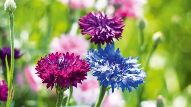 Cornflowers come in a range of colours.