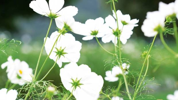 White cosmos grow reliably - and cheaply - from seed.