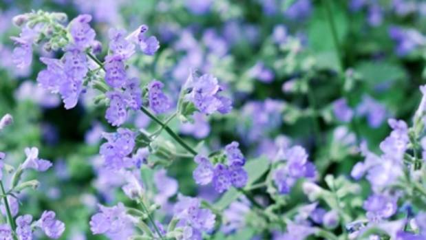The lilac blooms of catmint.