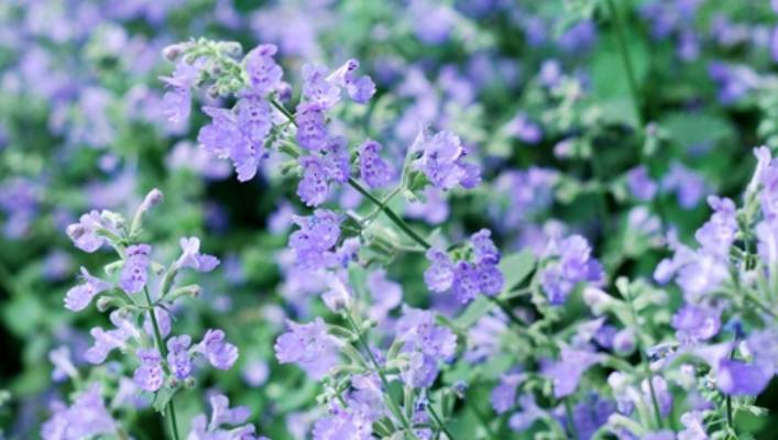 Best Companion Plants For Rose Beds Stuff Co Nz