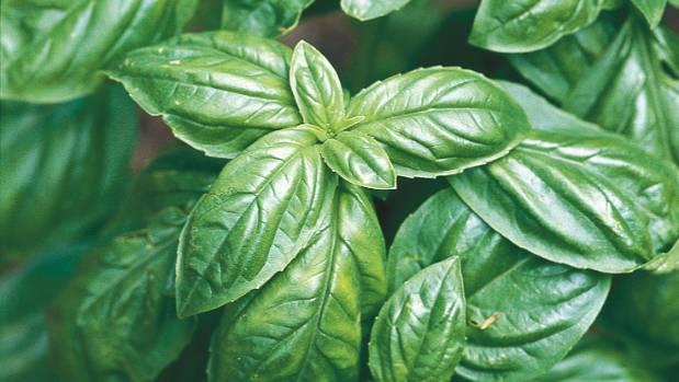 basil how to plant care for harvest this fragrant herb. Black Bedroom Furniture Sets. Home Design Ideas