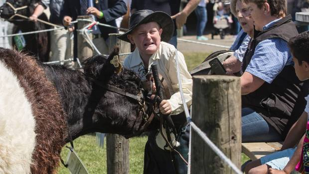 Marshall Stokes, 11, gets whacked by his galloway cow while parading.