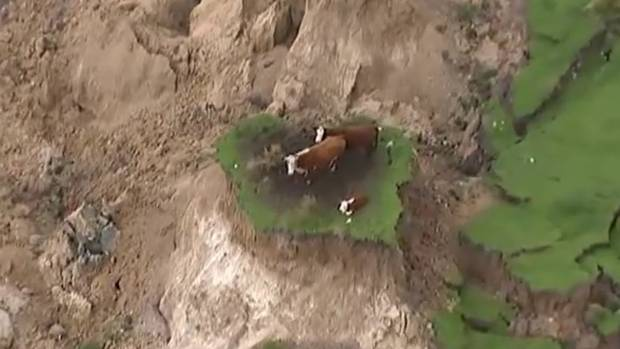 A family of cows is trapped on a tiny earthquake made island.