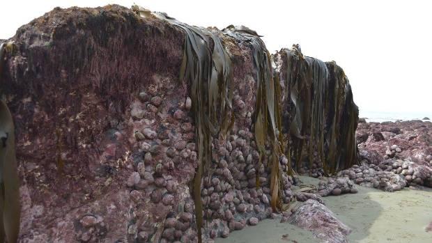 Paua exposed by the earthquake on the coast near Oaro, south of Kaikoura.