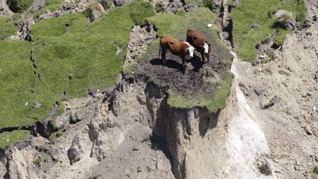Kaikoura's trapped cattle.
