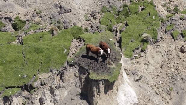This isn't the first time cows have got into strife. Remember the cows on Kaikoura's quake island?