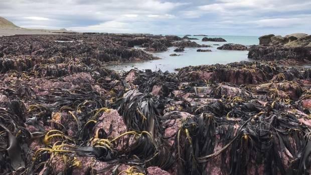 Fish, paua, seaweed and crayfish all floundering above the tide line at Ward Beach, Marlborough.