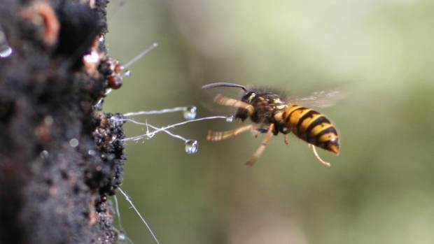 A wasp feeding on honeydew in a New Zealand beech forest.
