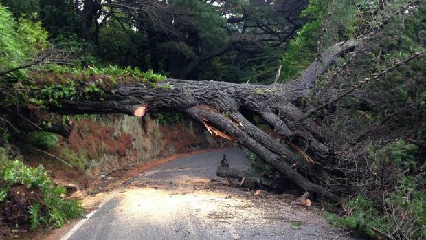 A 20 metre high pine tree has fallen across Horokiwi Rd blocking the only access in and out for residents.