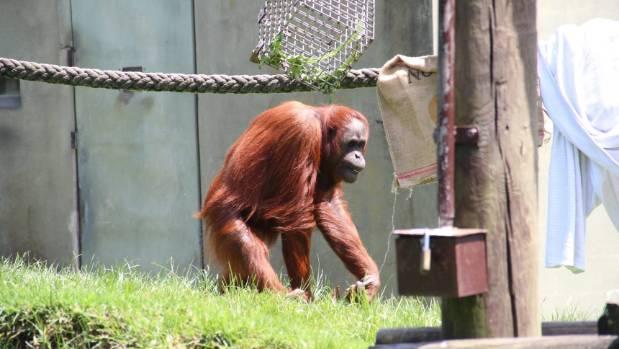Charlie the orangutan at Auckland Zoo.