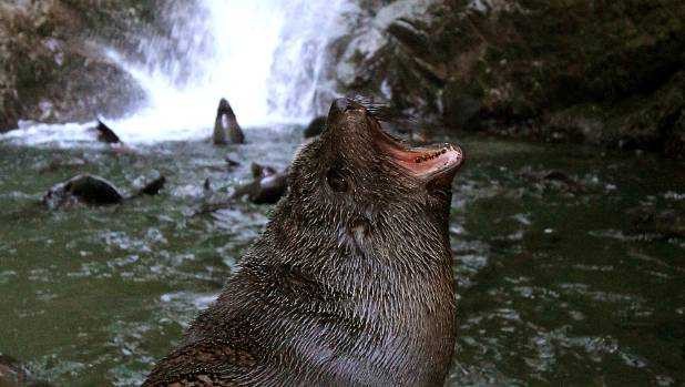 "Pups from the Ohau Point seal colony frolicking beneath a waterfall - which is ""full of rocks"" but may be recoverable."