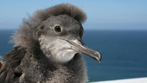 Hutton's Shearwater is just one of thousands of species that Forest and Bird say has been forgotten.