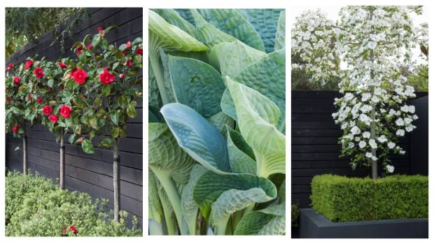 """The green and white landscape gets a punch of colour when the camellias are in bloom. Hosta """"Big Daddy"""" grows in the ..."""