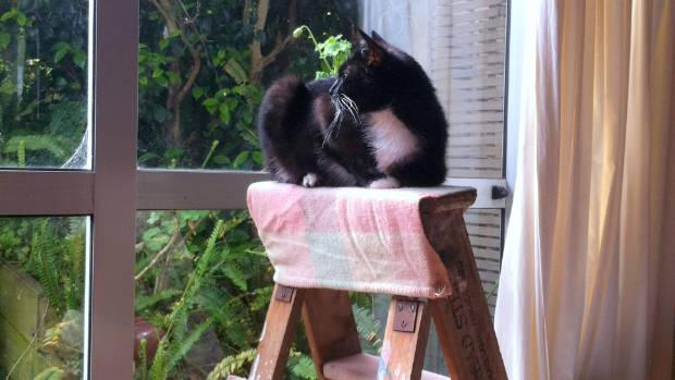Meet Moon Landing - yes, that's his name. He loves the view from the step-ladder so much, his human has retrofitted it ...