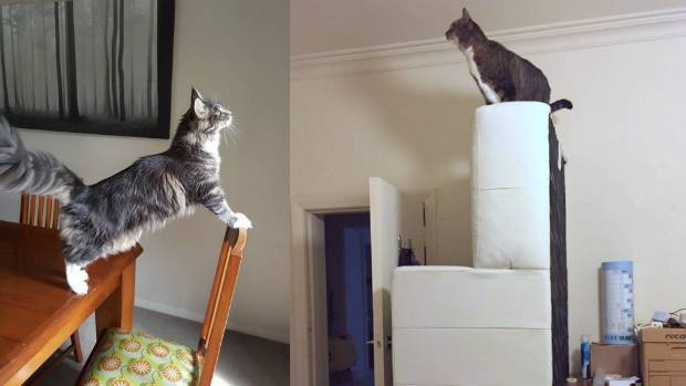 Petal (left) considers whether she can safely leap to a high window sill (I think not); Captain Sig explores high and ...