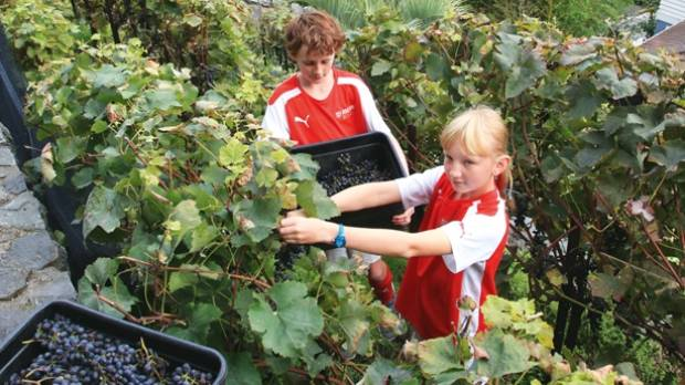 Douglas and Sydney harvesting the grapes.
