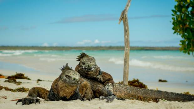 Iguanas resting in the beach in Santa Cruz, Galapagos Islands