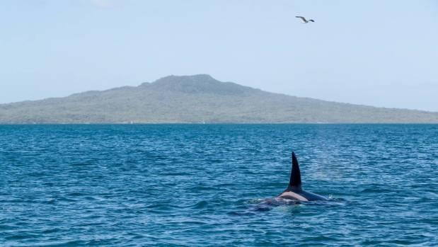Orca Family Delights Onlookers As They Swim Close To