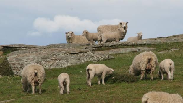 Omega ewes and lambs on Barewood Station.