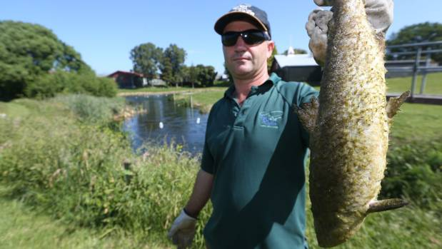 Nelson Marlborough Fish and Game field officer Vaughan Lynn holds up one of the salmon that died in the Opawa River.