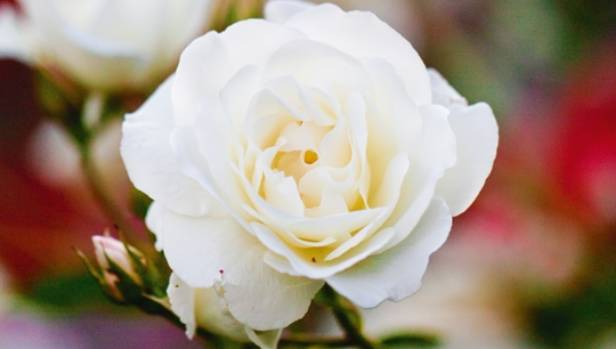 iceberg roses have plenty of flowers and are resistant to disease but look