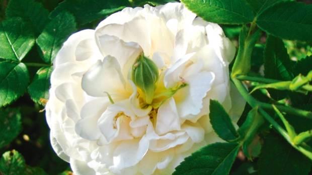 the best white roses for nz gardens. Black Bedroom Furniture Sets. Home Design Ideas