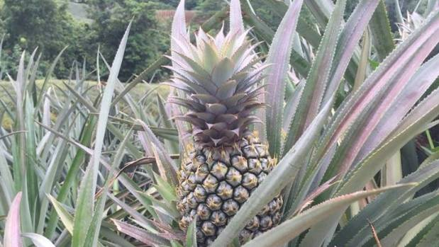 yes you can grow pineapples in new zealand. Black Bedroom Furniture Sets. Home Design Ideas