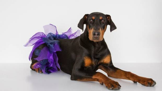 Dogs are welcomed back onto the 10km course this year. Kevin the Doberman pup, complete with tutu, took part in last ...