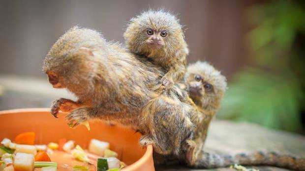 Three pygmy marmosets went missing from Wildlife park in Australia week.