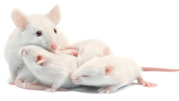 Researchers looked for the development of tumours related to ageing in the mice in the first study and found no ...
