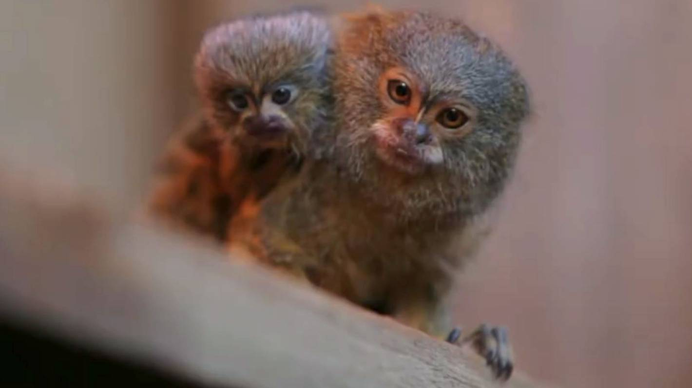 Brothers Intended To Sell Rare Monkeys Stolen From