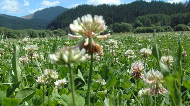 Scientists at AgResearch have shown that the white clover has a relatively recent evolutionary origin, probably from a ...