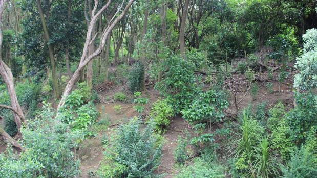 The bush located beside the east Auckland roundabout is where the chickens used to live.