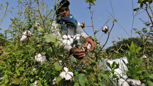 A worker harvests cotton in a field on the outskirts of Ahmedabad, India.