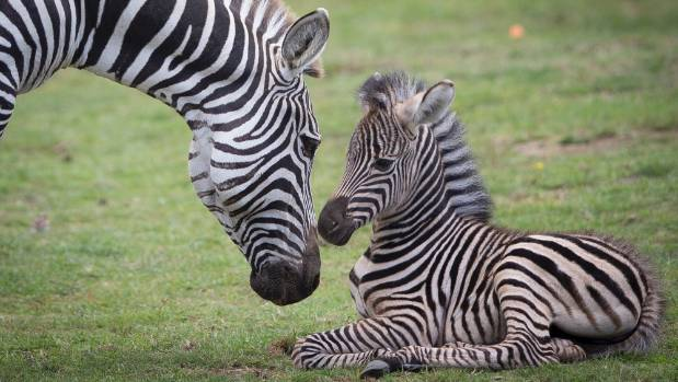 Long anticipated baby zebra born at hamilton zoo stuff keepers at hamilton zoo found this zebra foal with mum marbles when they checked on the reheart Image collections