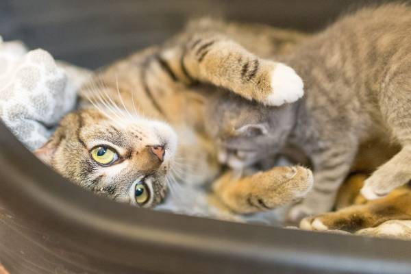 Cat Mia snuggles with her baby while waiting for adoption from the North Taranaki SPCA.