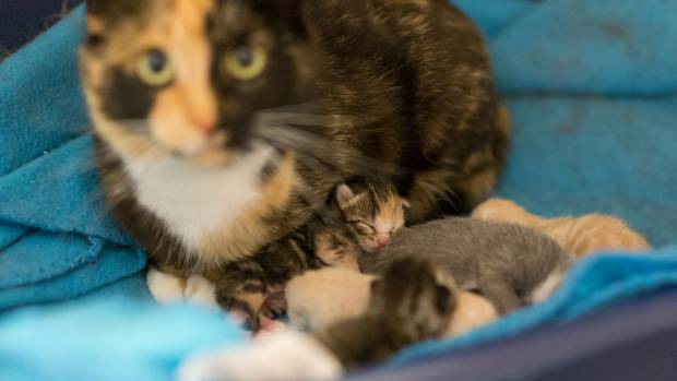 Pepper was more than pleased to take on five newborn kittens and care for them like they were her own.