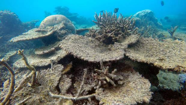 Dead table corals killed by bleaching on Zenith Reef, on the northern Great Barrier Reef in Australia.
