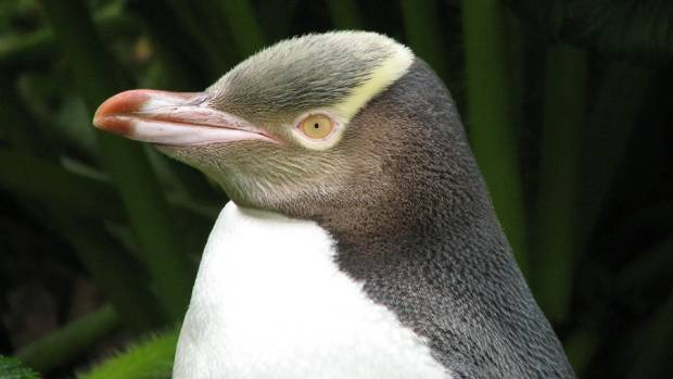 The shifty yellow-eyed penguin