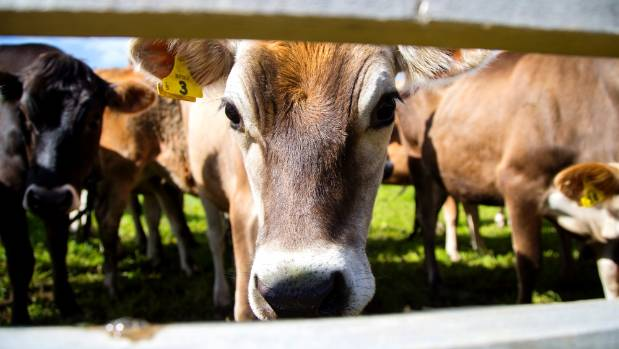 Highly indebted dairy farms are still vulnerable to future shocks.