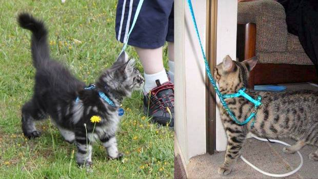 Maine Coon Rangi (left) was started on leash training from an early age, as he was heading toward an arm-straining 8-10 ...