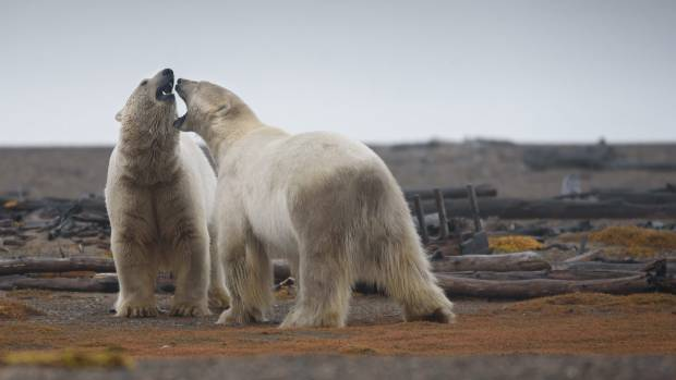 Two polar bears engaged in play fighting in the Arctic National Wildlife Refuge in Alaska.