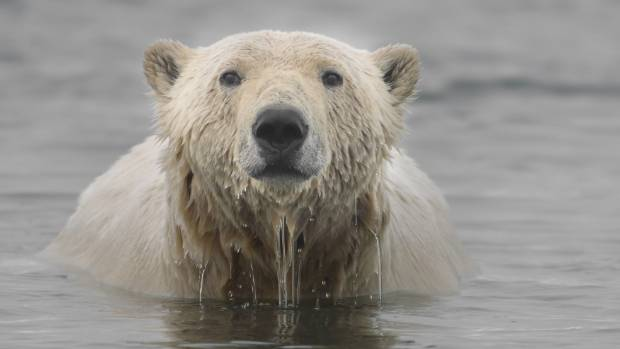 Polar bear swimming in the Beaufort Sea on the northern coast of Alaska.