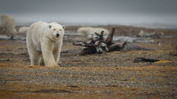 While polar bears spend much of their life on the sea ice, many congregate during the ice-free period between August and ...