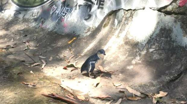 Fairy penguin rescued after being trapped in Sydney drain
