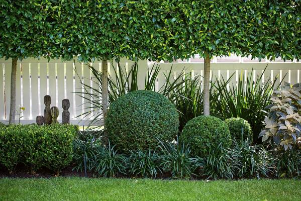 Beneath the Ficus hillii hedge, the liriope, agapanthus, dietes and buxus balls achieve the layered effect that Sue wanted.
